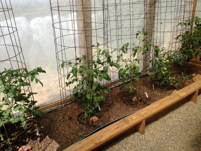 tomatoes starting in green house