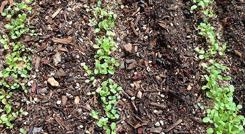 lettuce_greenhouse germinating