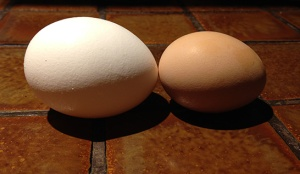 pullet egg vs reg egg