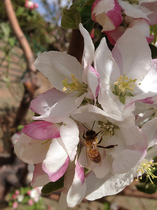 bee getting pollen on apple blossom_blog