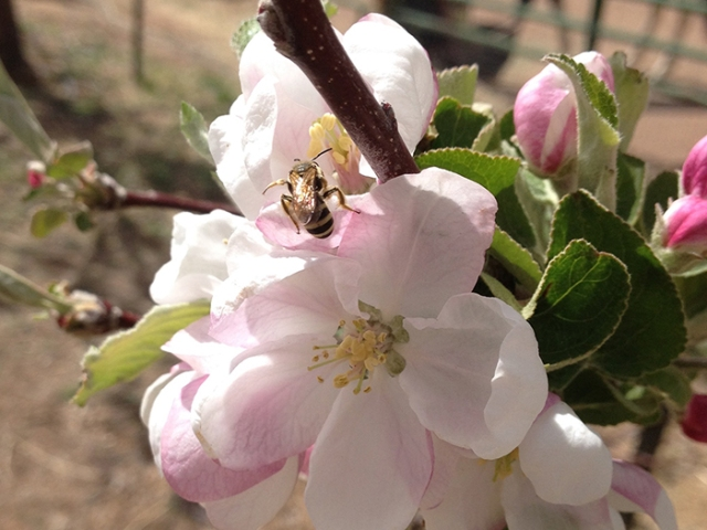 bee on apple blossom3_blog