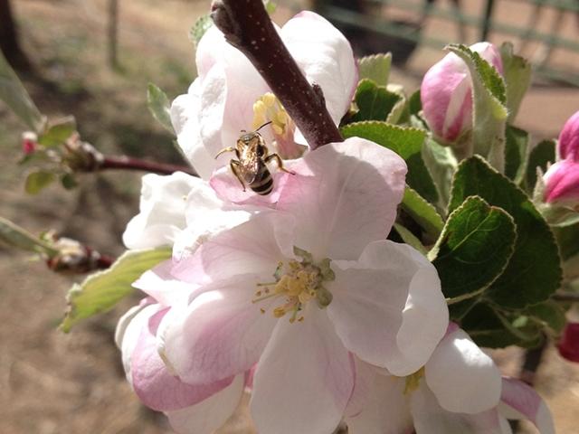 bee on apple blossom3_blog