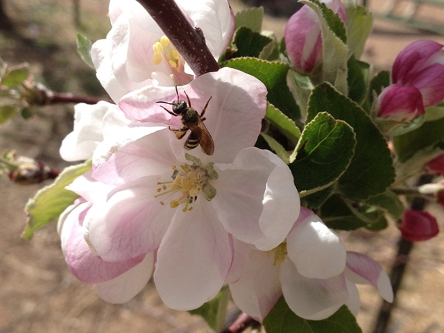 Native bees visit the blossoms too!