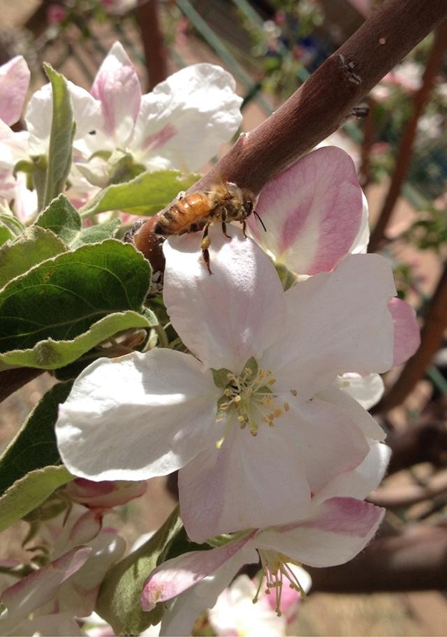 bee on apple blossom5_blog