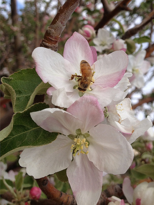 bee on apple blossom_blog
