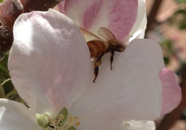 I call this the drunken bee-drunk on nectar!
