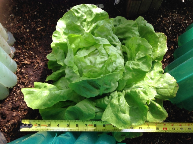 santoro lettuce_17 inches