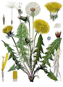 220px-Taraxacum_officinale_-_Köhler–s_Medizinal-Pflanzen-135