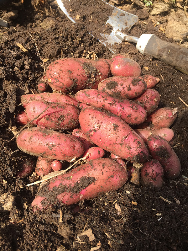 potatoes just dug up