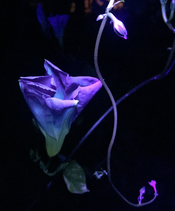 UV morning glory folded