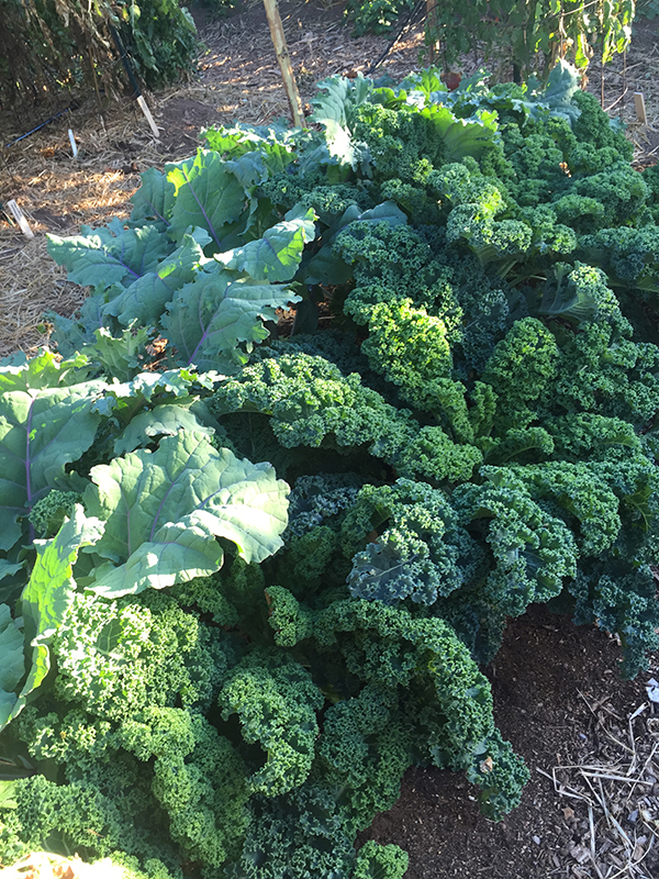 winterbor_russian red kale
