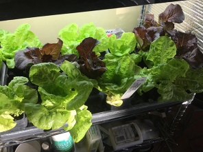 lettuce 2 weeks old