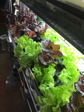 lettuce under lights