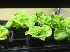 polar lettuce 2 weeks old