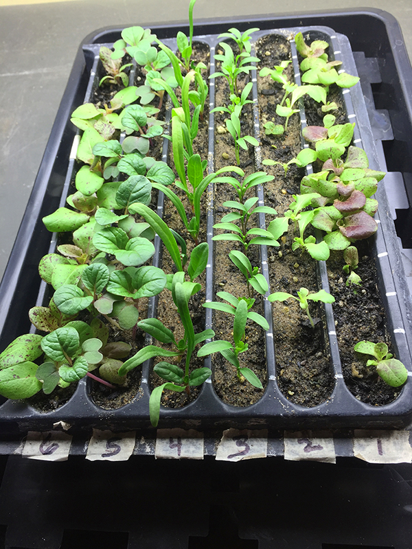 transplanting seedlings_before transplanting