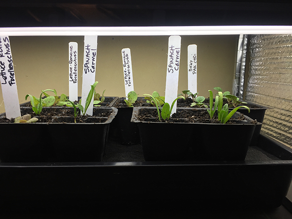 transplanting seedlings_flat of transplants