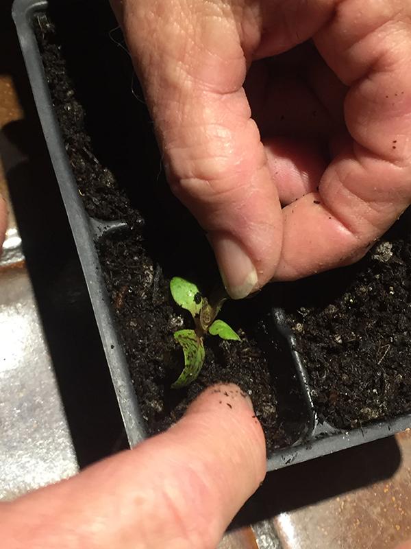 transplanting seedlings_tamp soil