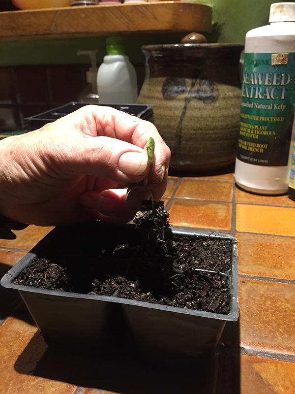 transplanting seedlings_transfering to 4 pack