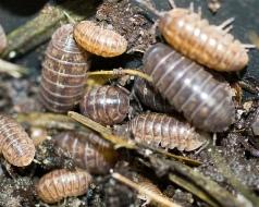 Pillbugs_(Armadillidiidae)