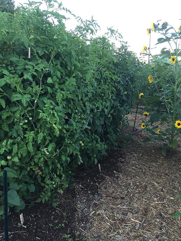tomato_healthy plants