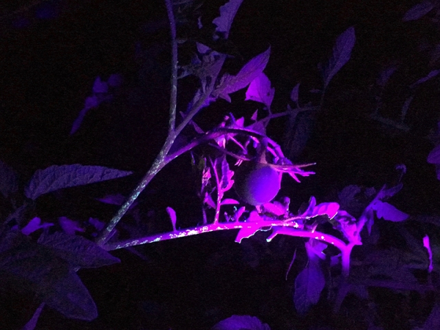 tomato-hornworm-bitemarks