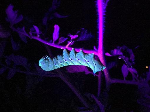 tomato-hornworm1