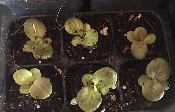 4-season-lettuce