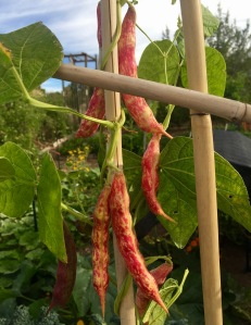 Borlotti 'lamon' bean from Tomato lady of Santa Fe