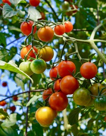 Sungold tomatoes from the Tomato Lady of Santa Fe
