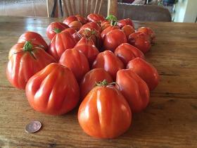 Goldman's Italian American tomato in Tomato Lady of Santa Fe's garden
