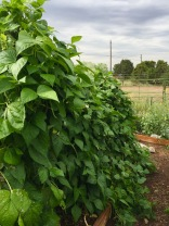 Green Beans-pole type-Rattlesnake and Emerite varieties