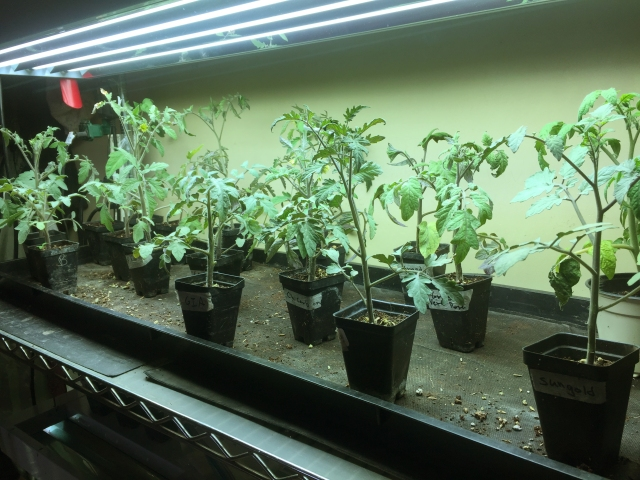 Tomato plants waiting to be planted outside