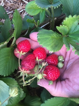 June bearing strawberries