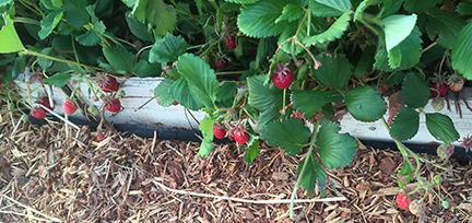 strawberries3_2019