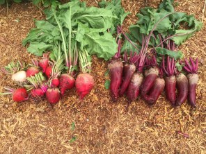 beets-chiogga on left/Cylindra on right