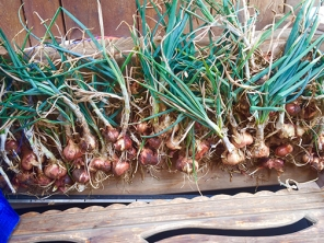Dutch shallots curing