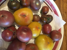 Mystery yellow tomato with Purple Cherokee tomatoes