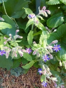 Borage flowers in strawberry patch