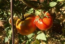 Goliath tomatoes