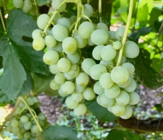 Himrod grapes