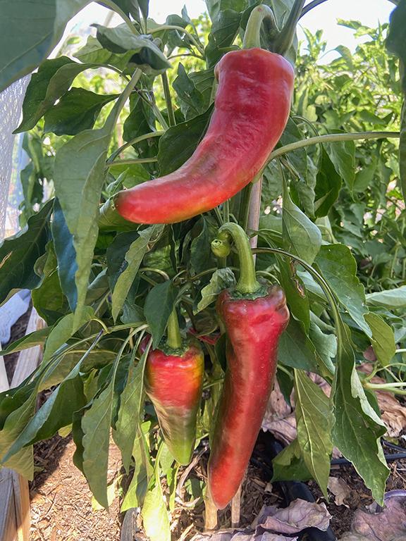 Lava Red Italian pepper