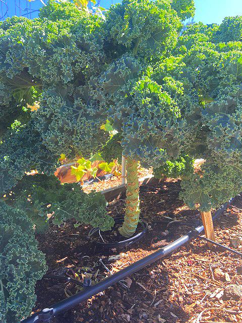 scotch curly kale